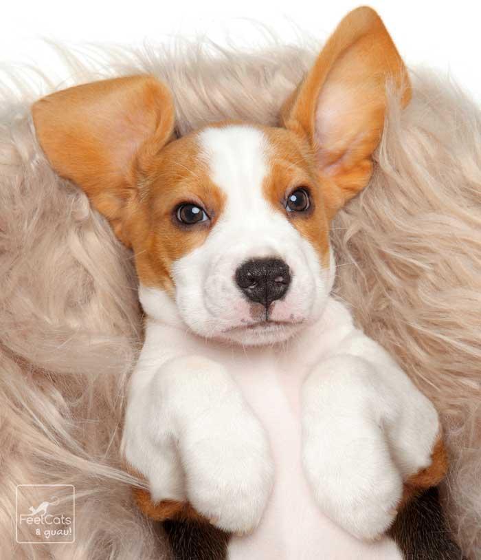 Perro cachorro con orejas grandes