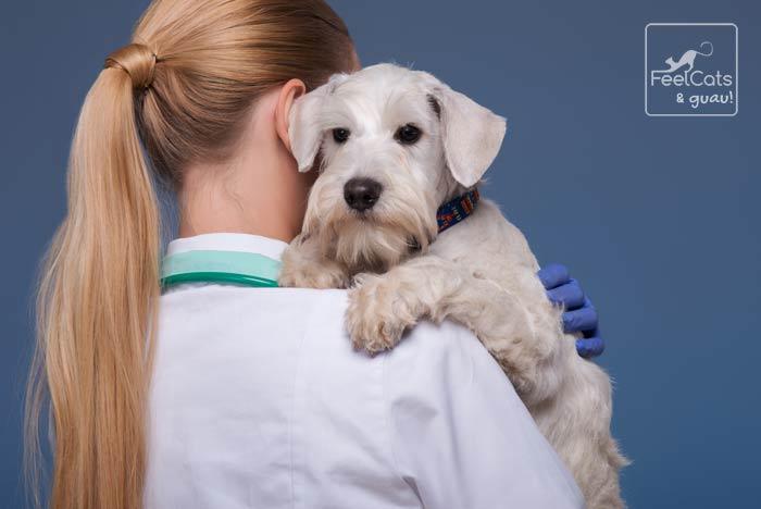 cuidados de un perro después de la castración en perros