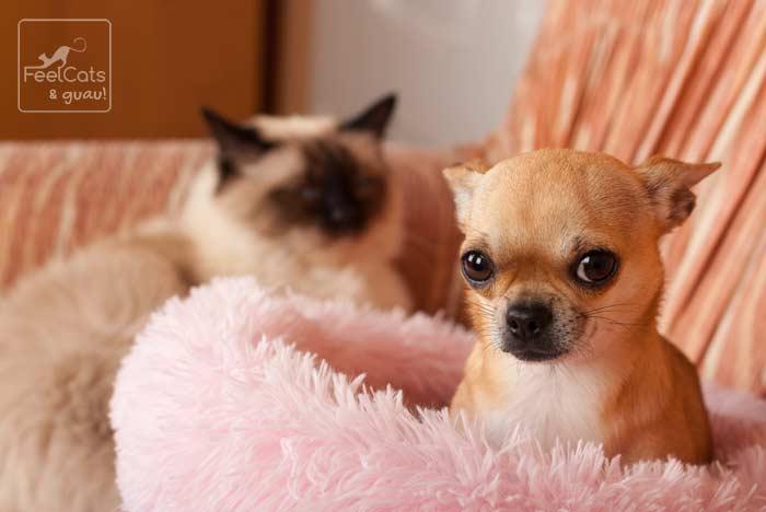 perro chihuahua en la camita rosa, con un gato