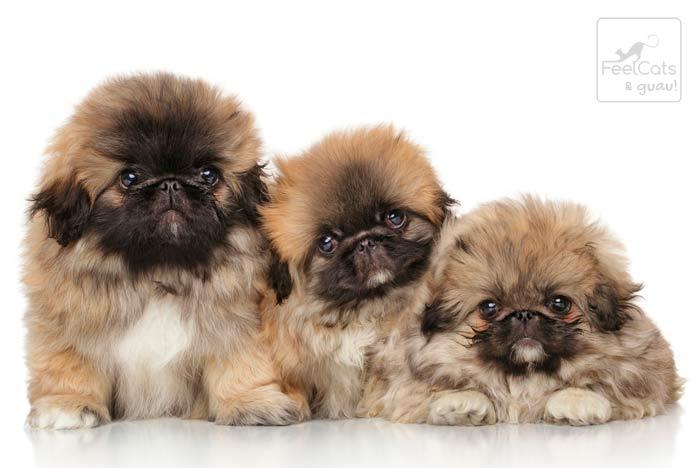 tres cachorros de Pequinés