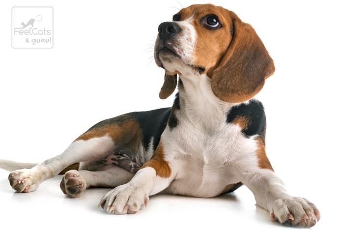 Beagle, sentado