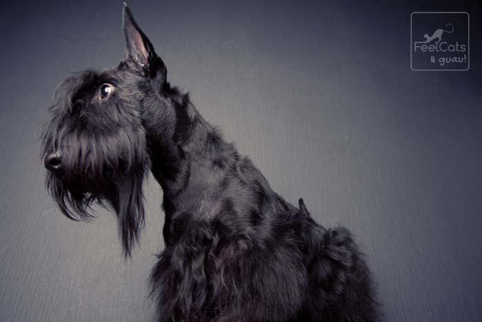 perro de la raza terrier escocés de color negro