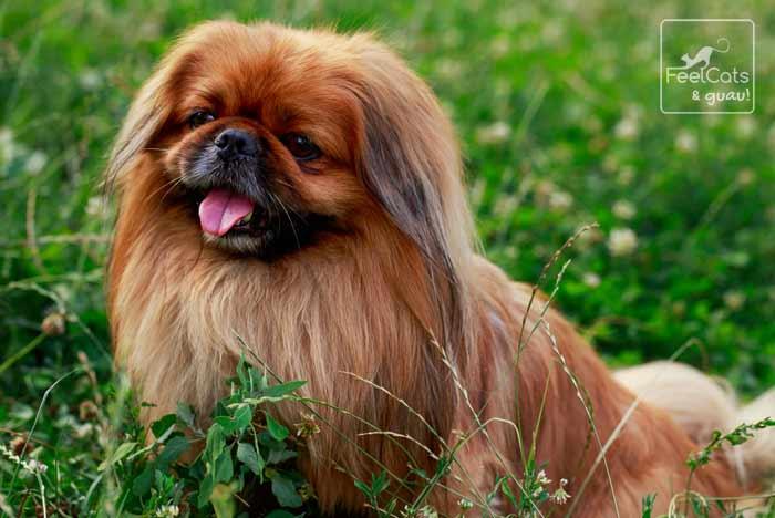 perro Pekinés de color marrón, en el campo, libre