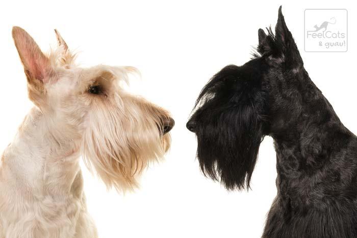 dos scottish terrier de color blanco y negro