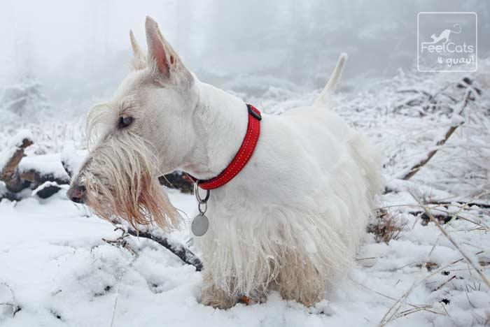 scottish terrier de color blanco