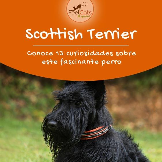 terrier escocés, toda la información sobre este perro