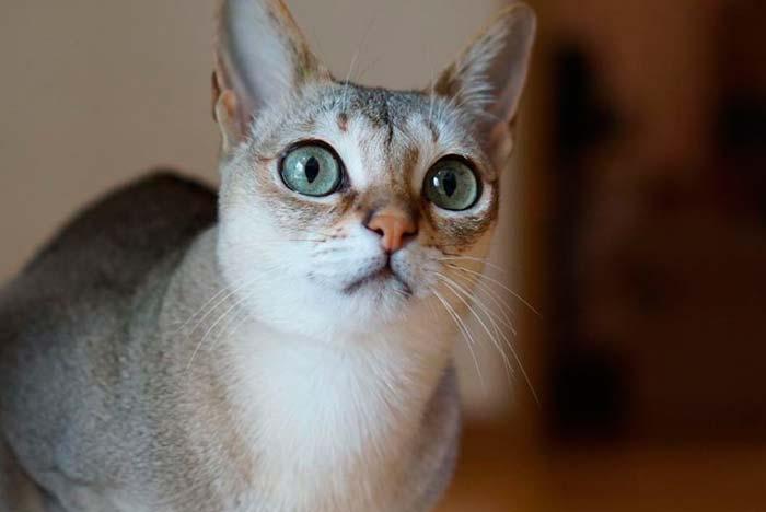 gato de ojos grandes Singapura