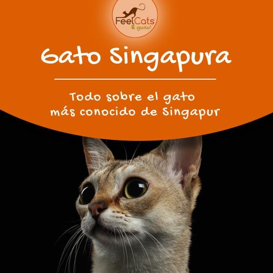 todo sobre el gato Singapura