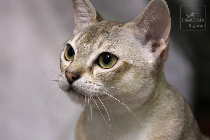 Gato de ojos verdes y color crema