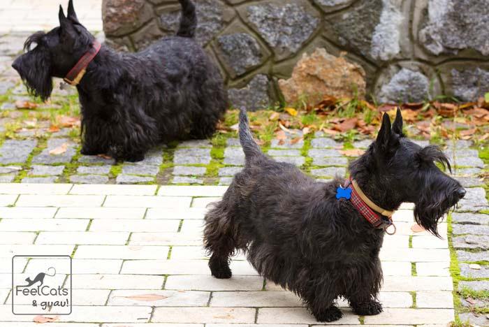 dos perros negros, pequeños, scottish terrier, de paseo
