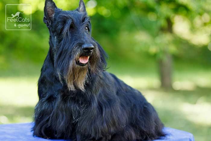 perro adulto barbudo, sentado en el parque