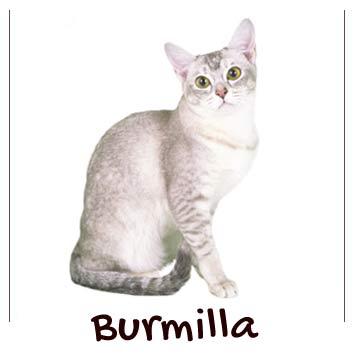 raza-gatos-burmilla
