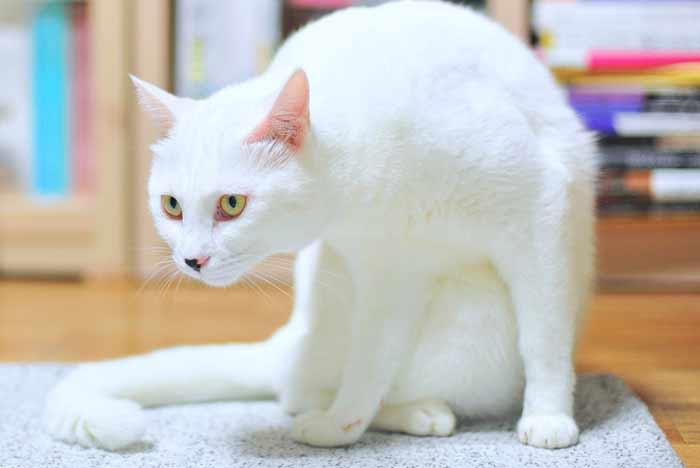 gato blanco y sus nombres