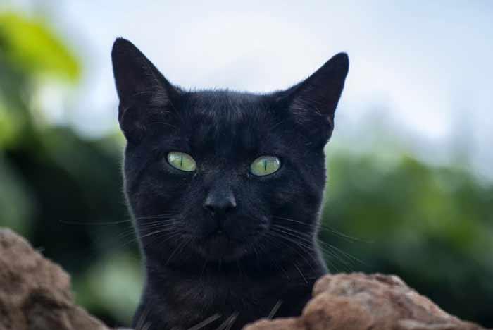 nombres gatas negras