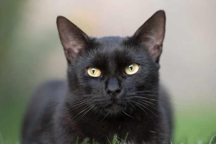 gata negra de ojos miel