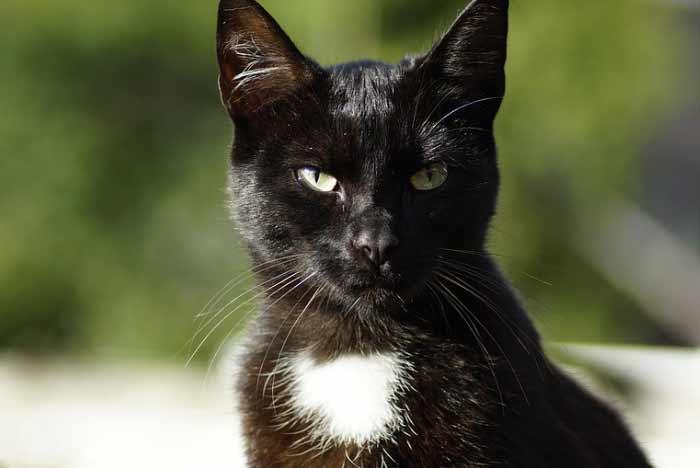 gata negra con mechón blanco