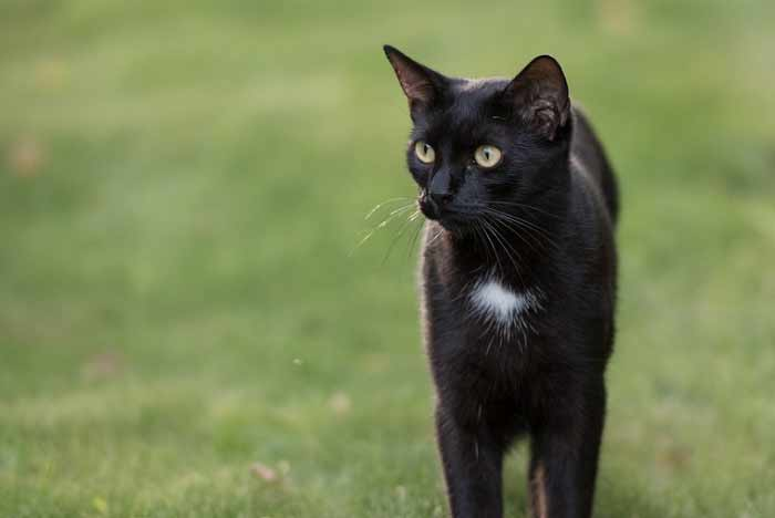 gata negra con blanco