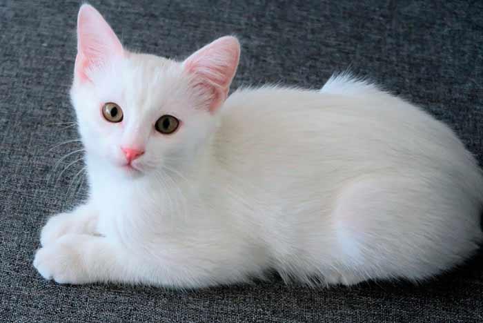 Lista de nombres para gatos de color blanco