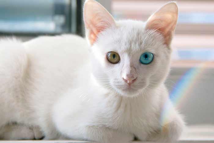 gato blanco con ojos de diferente color