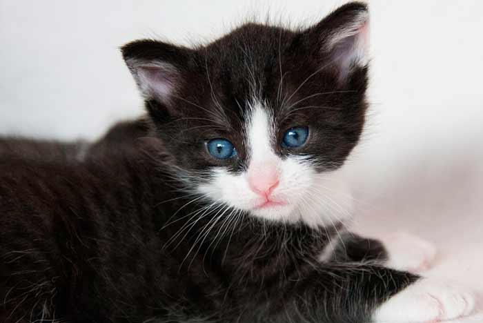 gatito negro y blanco