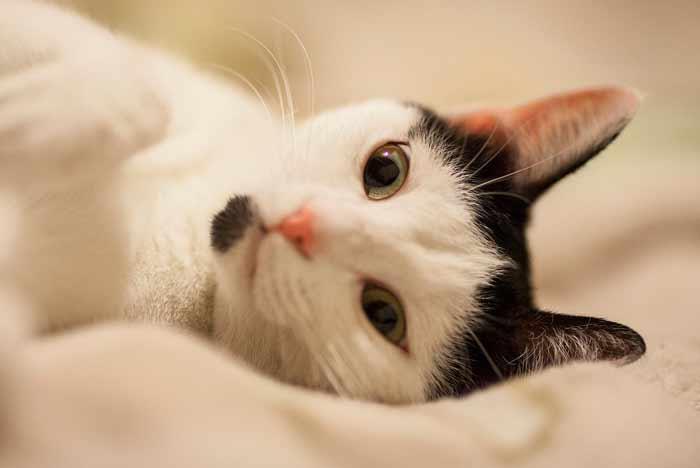 gato blanco con color negro