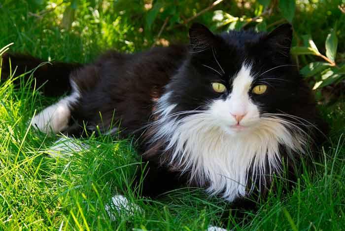 gato de pelo largo, blanco y negro