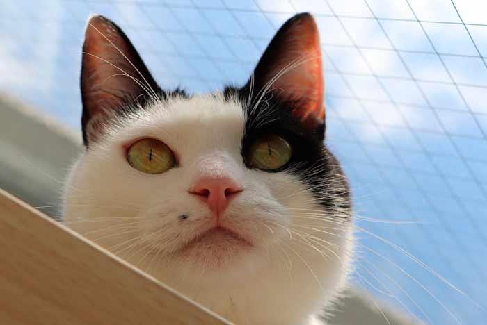 caracter del gato bicolor