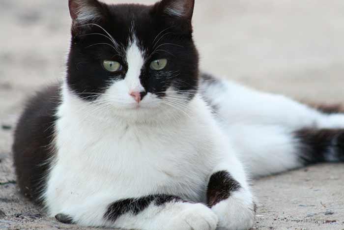 gato callejero bicolor