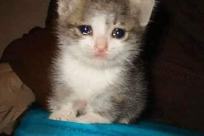 gatos llorando meme