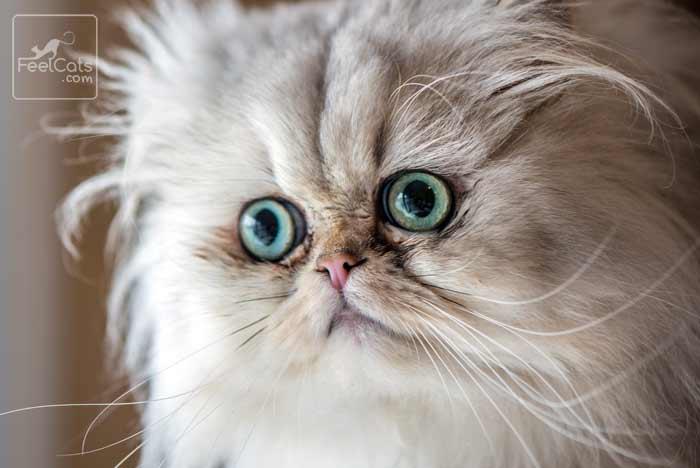 gato persa lagrimal