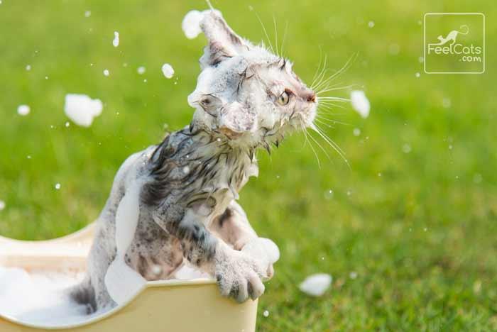 gato en el agua y bañar