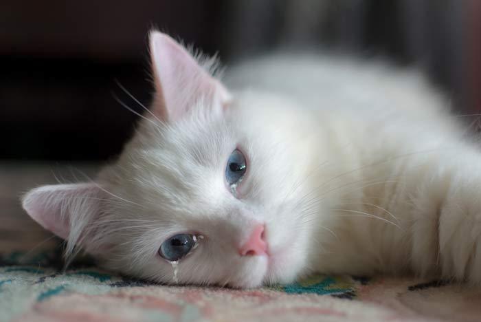 gato ojos llorosos por enfermedad