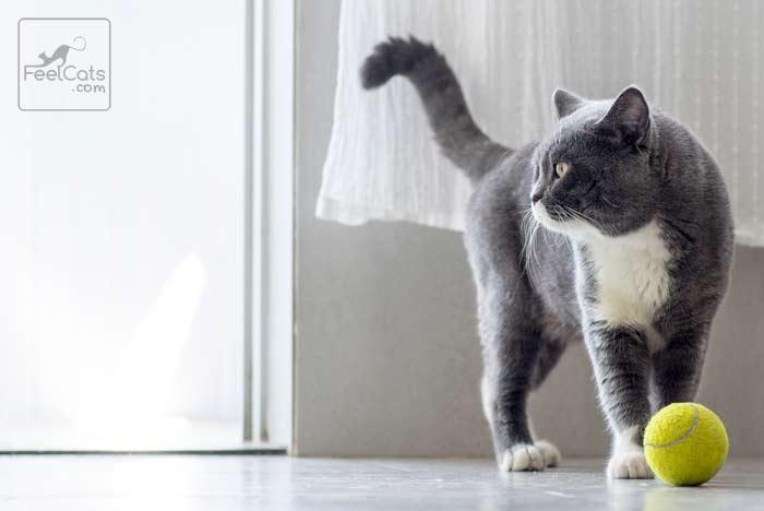 hasta que edad crecen los gatos machos