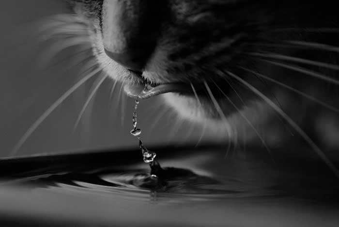 lengua de un gato al beber