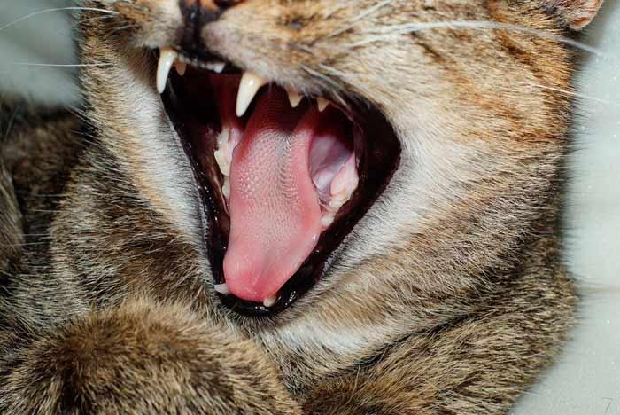 lengua gato