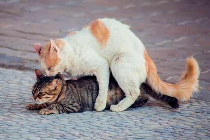 gatos apareandose