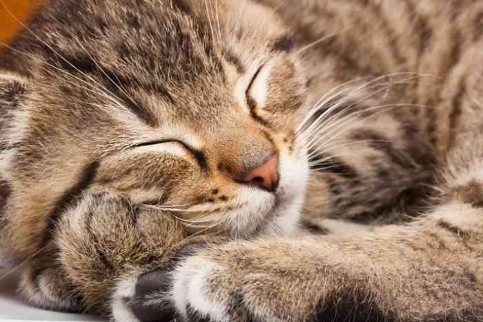 gato dormido o decaído por enfermedad respiratoria