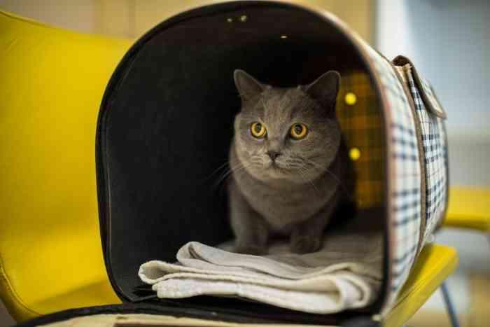 gato gris va al veterinario porque está resfriado