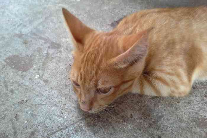 gato naranja descansando
