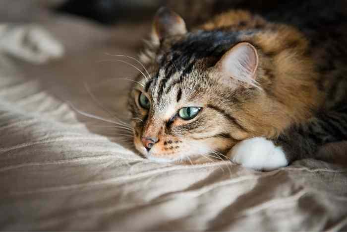 gato atigrado descansando con catarro