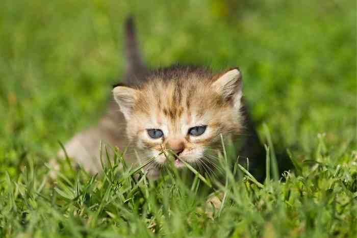 gatito atigrado de ojos azules