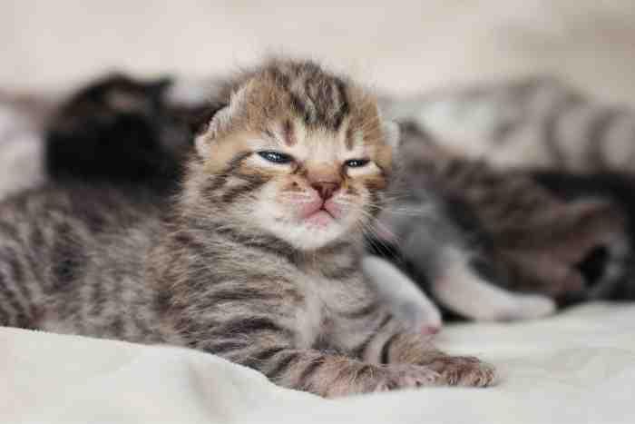 cuidar a un gatito