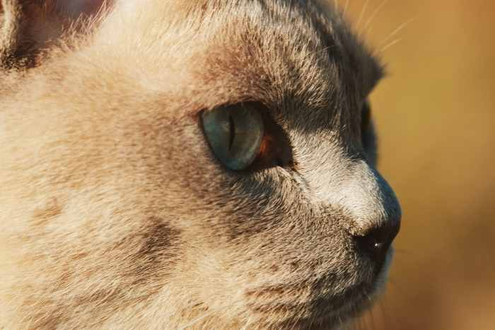 ojos azules grises del gato tonkinés