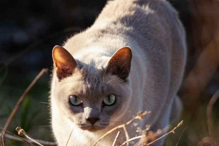 gato gris tonkinese