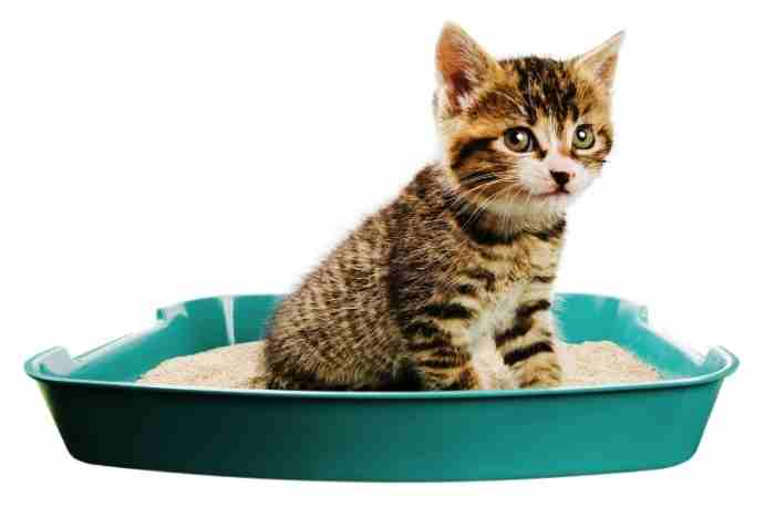 gato de un mes usa el arenero