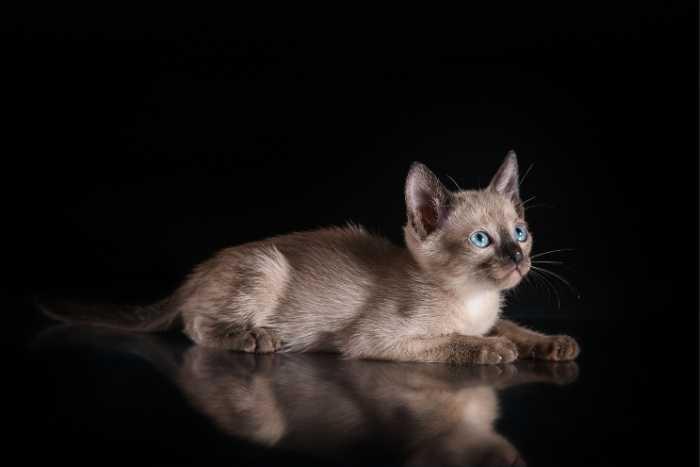 gatito bebe tonkinés