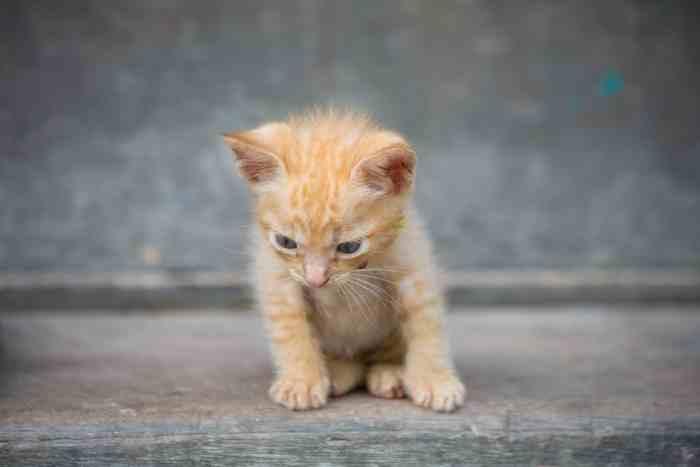 alimentar a un gatito de un mes
