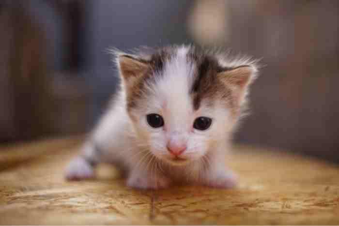 gato bebé de un mes
