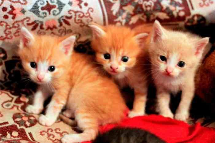 gatos naranjas camada