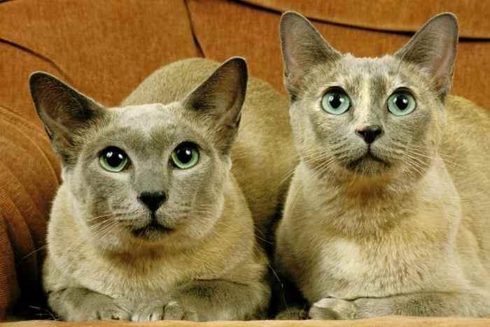 gatos parecidos a los siameses